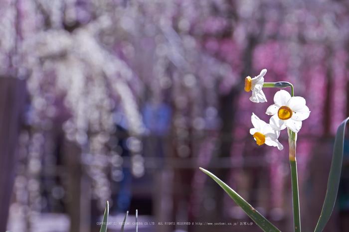 結城神社,梅,SIGMA18_200,(IMG_0775,106mm,F9)2014yaotomi_.jpg