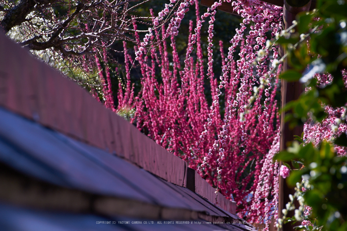 結城神社,梅,SIGMA18_200,(IMG_0789,147mm,F8)2014yaotomi_.jpg