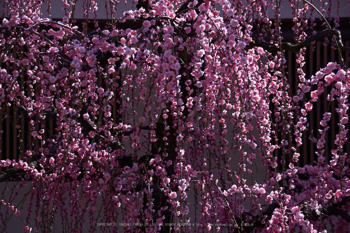 結城神社,梅,SIGMA18_200,(IMG_0794,75mm,F5.6)2014yaotomi_.jpg