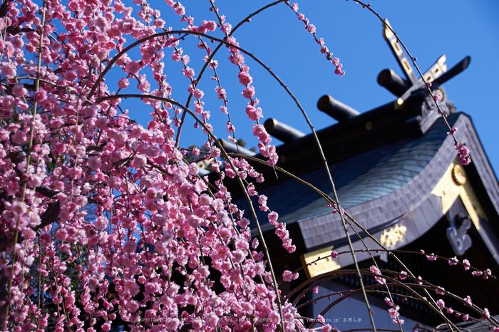 結城神社,梅,SIGMA18_200,(IMG_0796,46mm,F5.6)2014yaotomi_.jpg