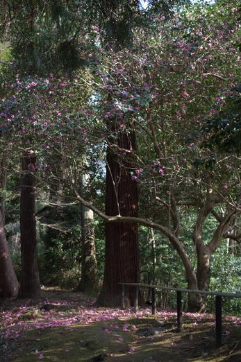 観心寺,梅(PK3_7293_F1,6_30mm)2014yaotomi_.jpg