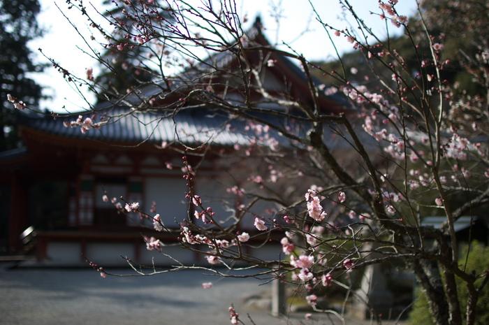 観心寺,梅(PK3_7308_F1,4_30mm)2014yaotomi_.jpg