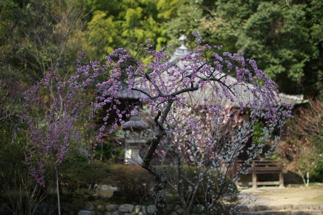 観心寺,梅(PK3_7326_F1,4_30mm)2014yaotomi_.jpg