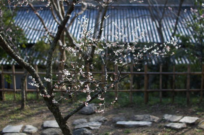 観心寺,梅(PK3_7354_F1,8_30mm)2014yaotomi_.jpg