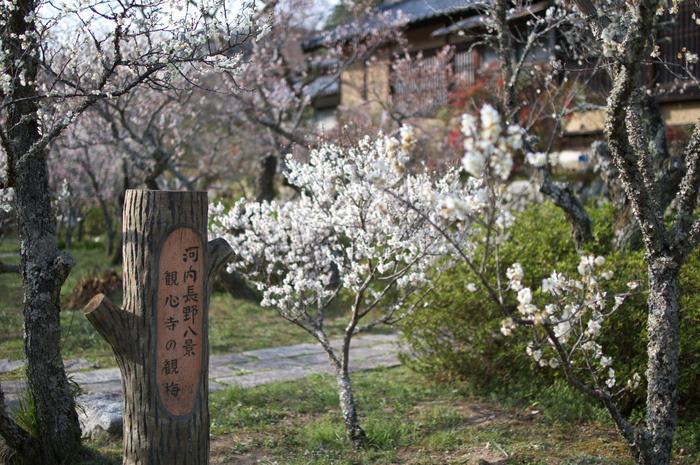 観心寺,梅(PK3_7371_F1,4_30mm)2014yaotomi_.jpg