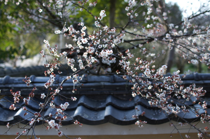 観心寺,梅(PK3_7379_F2,0_30mm)2014yaotomi_.jpg