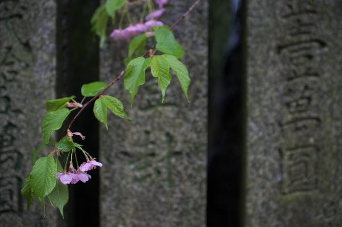 車折神社,桜_2014yaotomi_PK3_7750(F1,6_30mm).jpg