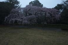 近衞邸跡,桜_2014yaotomi_PK3_7517(F8,0).jpg