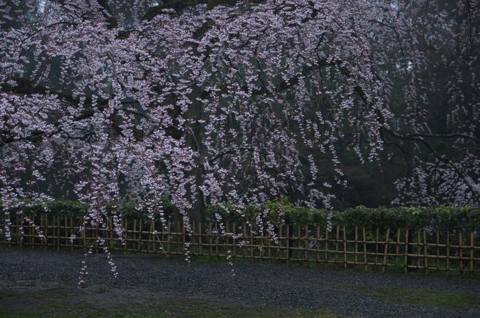 近衞邸跡,桜_2014yaotomi_PK3_7521(F4,0).jpg