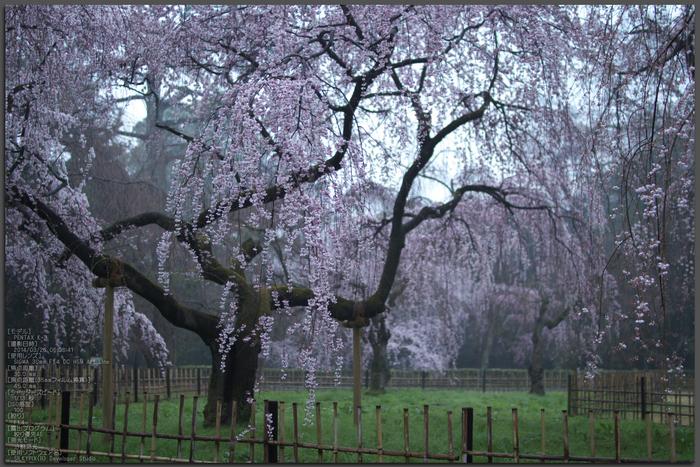 近衞邸跡,桜_2014yaotomi_PK3_7541(F1,4)_Top.jpg