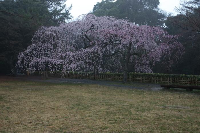 近衞邸跡,桜_2014yaotomi_PK3_7583(F4,5).jpg