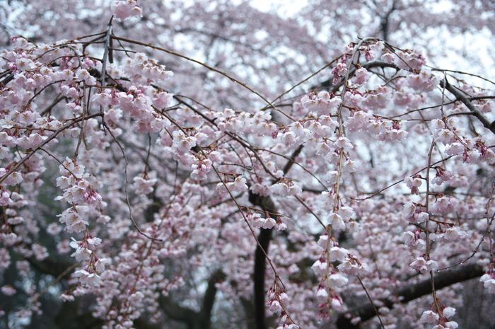 近衞邸跡,桜_2014yaotomi_PK3_7590(F3,5_37mm).jpg