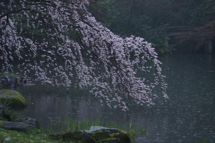 近衞邸跡,桜_2014yaotomi_PK3_7602(F5,0_77mm).jpg