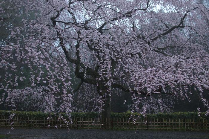 近衞邸跡,桜_2014yaotomi_PK3_7614(F1,8_30mm).jpg