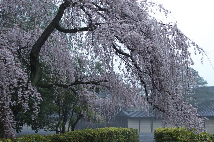 近衞邸跡,桜_2014yaotomi_PK3_7626(F2,5_30mm).jpg