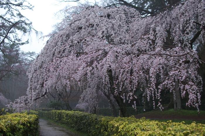 近衞邸跡,桜_2014yaotomi_PK3_7639(F1,8_30mm).jpg