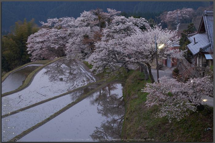 三多気・桜(DSCF0371,F9,67.1mm)2014yaotomi_Top.jpg