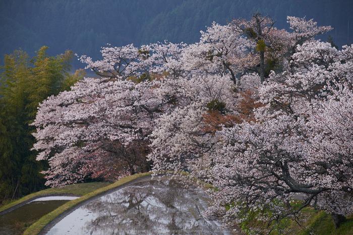 三多気・桜(DSCF0512,F6.4,148.5mm)2014yaotomi_.jpg
