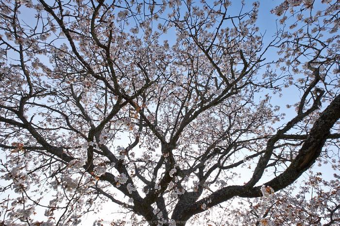 三多気・桜(DSCF0545,F10,10mm)2014yaotomi_.jpg