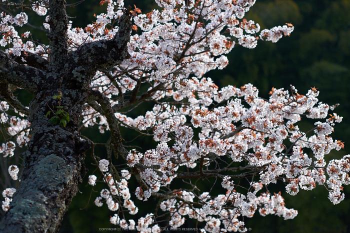 三多気・桜(DSCF0548,F2,56mm)2014yaotomi_.jpg