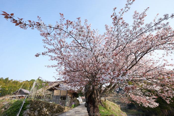 三多気・桜(DSCF0568,F13,10mm)2014yaotomi_s.jpg