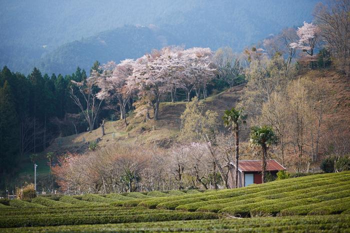 三多気・桜(DSCF0624,F1.4,56mm)2014yaotomi_.jpg