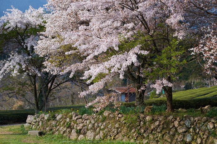 三多気・桜(DSCF0626,F2.5,56mm)2014yaotomi_.jpg