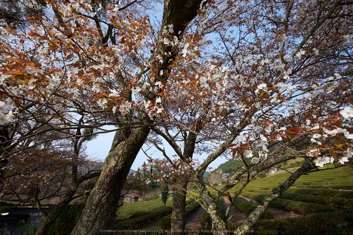 三多気・桜(DSCF0633,F11,10mm)2014yaotomi_.jpg