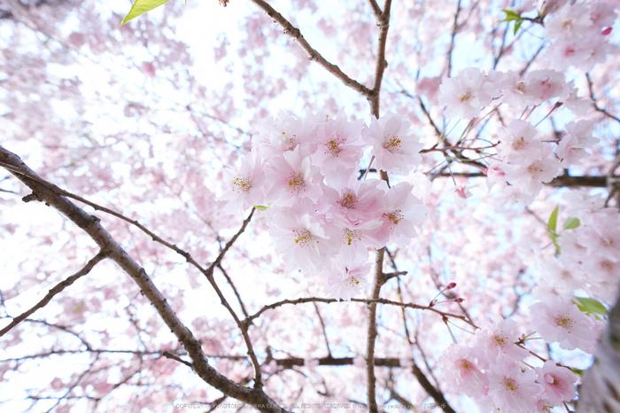 三多気・桜(DSCF0651,F5.6,10mm)2014yaotomi_.jpg
