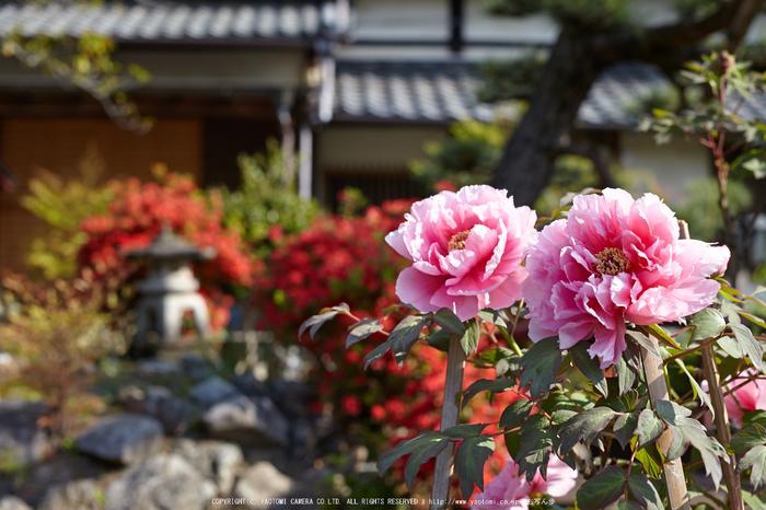 乙訓寺・ぼたん(IMG_7428,F4)2014yaotomi_.jpg
