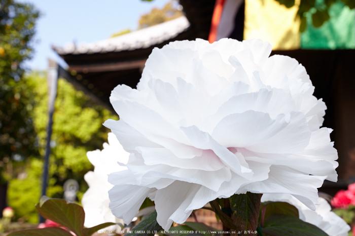 乙訓寺・ぼたん(IMG_7480,F11)2014yaotomi_.jpg