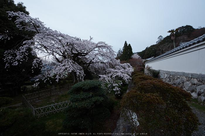 九品寺,桜(PK3_8134,F10,--mm)2014yaotomi_.jpg