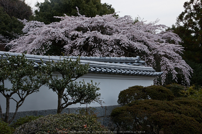 九品寺,桜(PK3_8152,F10,37mm)2014yaotomi_.jpg