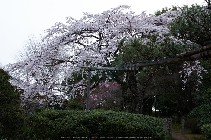 九品寺,桜(PK3_8157,F10,31mm)2014yaotomi_.jpg