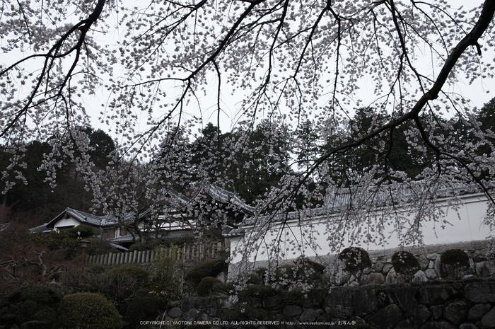 九品寺,桜(PK3_8164,F10,21mm)2014yaotomi_.jpg