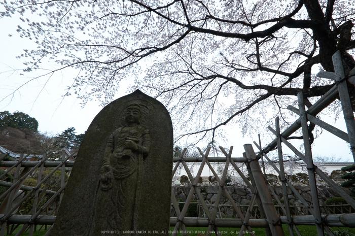 九品寺,桜(PK3_8172,F13,--mm)2014yaotomi_.jpg