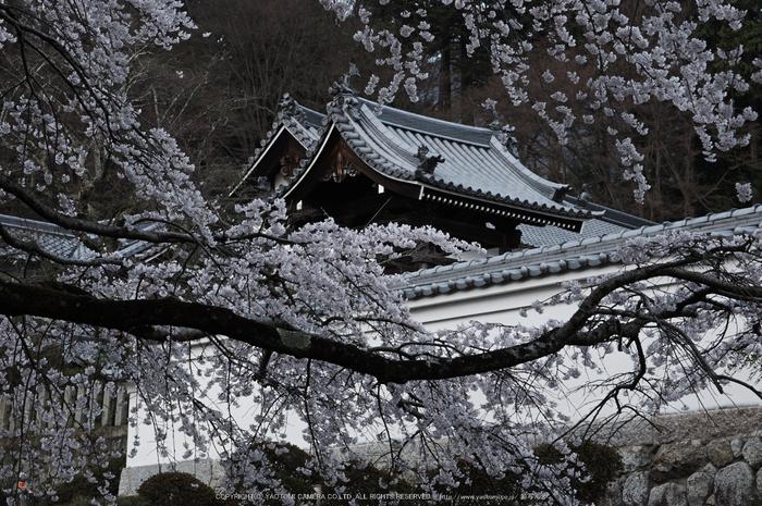 九品寺,桜(PK3_8187,F11,70mm)2014yaotomi_.jpg