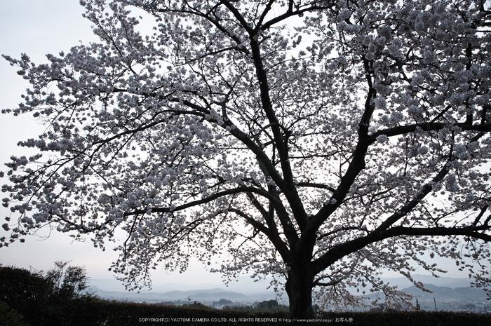 九品寺,桜(PK3_8191,F9,17mm)2014yaotomi_.jpg