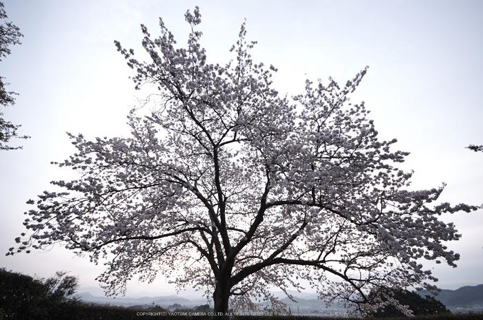 九品寺,桜(PK3_8202,F4.5,--mm)2014yaotomi_.jpg