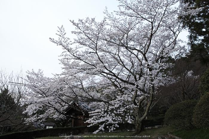 九品寺,桜(PK3_8216,F9,17mm)2014yaotomi_.jpg
