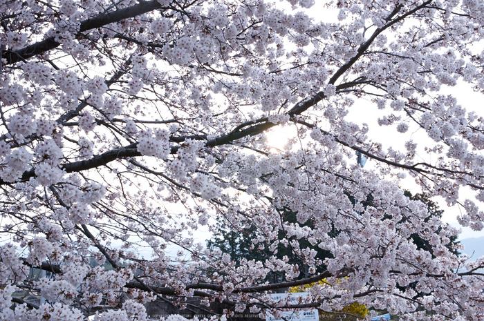 九品寺,桜(PK3_8229,F9,37mm)2014yaotomi_.jpg