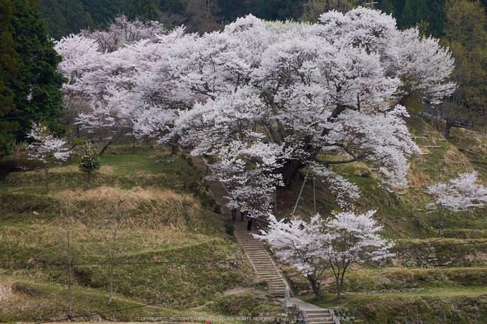 仏隆寺・桜(DSCF1028,F8,46.3mm)2014yaotomi_.jpg