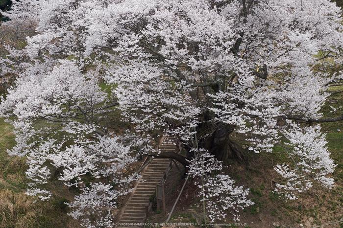 仏隆寺・桜(DSCF1043,F8,86mm)2014yaotomi_.jpg