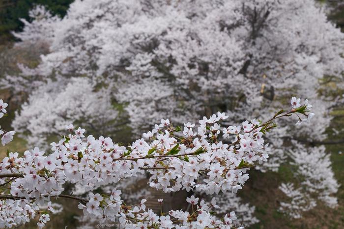 仏隆寺・桜(DSCF1058,F14,81.9mm)2014yaotomi_.jpg