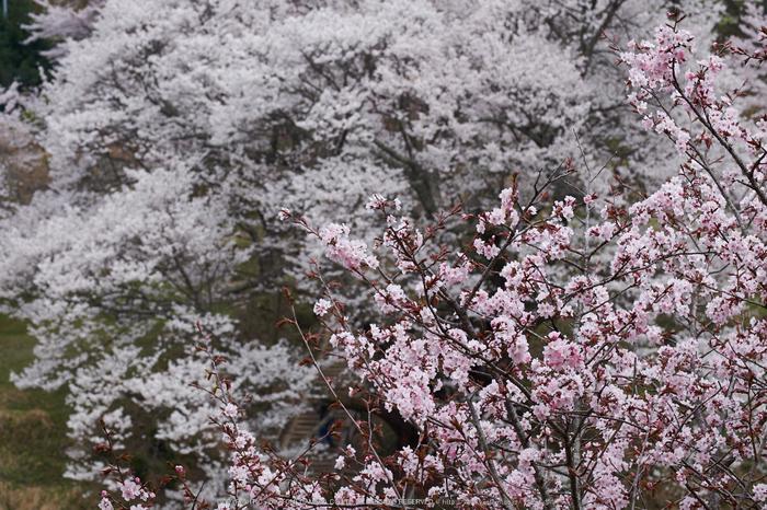 仏隆寺・桜(DSCF1063,F8,77.9mm)2014yaotomi_.jpg