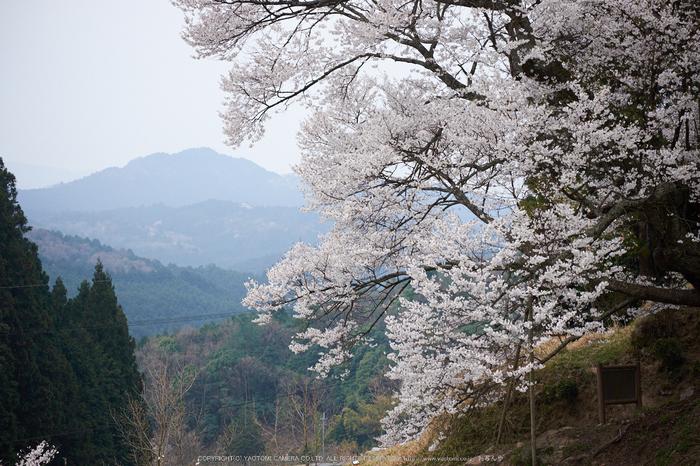 仏隆寺・桜(DSCF1064,F3.6,67.1mm)2014yaotomi_.jpg