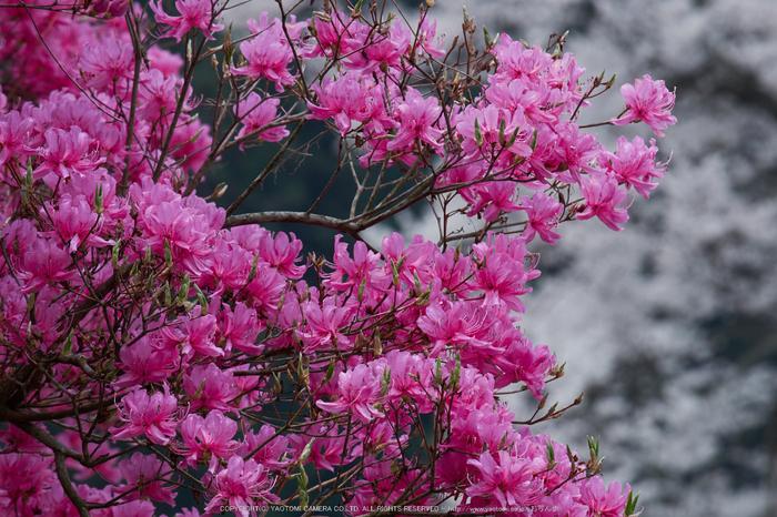 仏隆寺・桜(DSCF1081,F13,200mm)2014yaotomi_.jpg