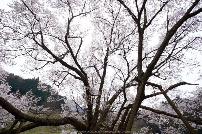 仏隆寺・桜(DSCF1092,F9,10mm)2014yaotomi_.jpg