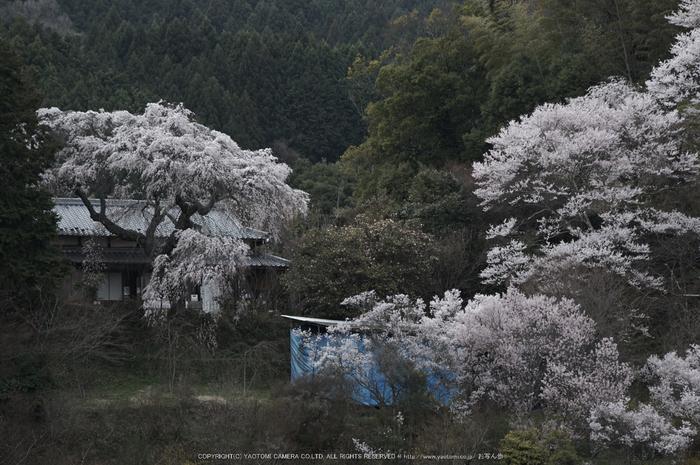 天益寺,桜(PK3_8673,F8,120mm)2014yaotomi_.jpg