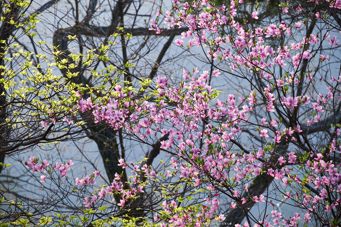 室生湖・新緑,桜(DSCF5158,F6.4,141.3mm)2014yaotomi_.jpg